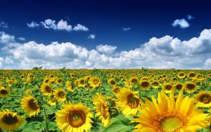 summer_sunflowers_1920.jpg